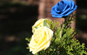 blue and gold roses